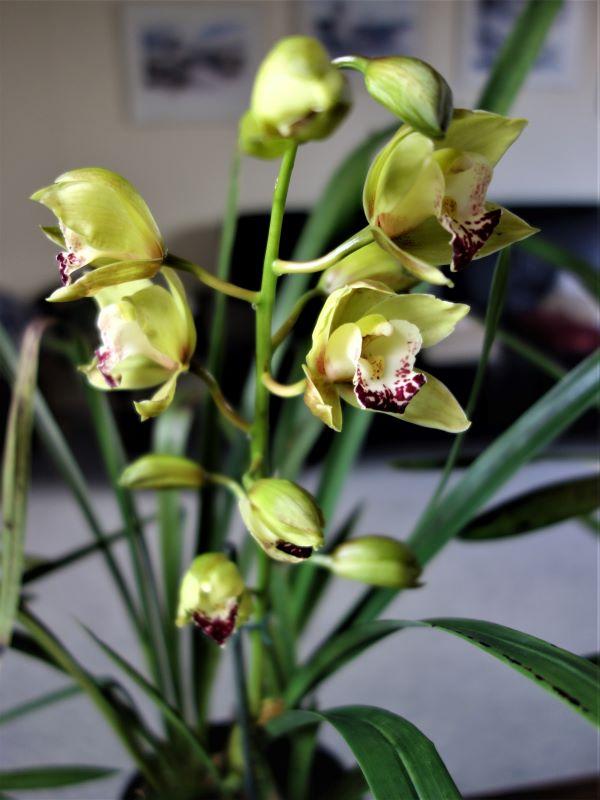 Orchideen 3 (fortlaufende Seiten 300 bis 400) - Seite 67 Cymbid12