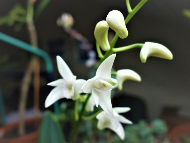 Orchideen 3 (fortlaufende Seiten 300 bis 400) - Seite 65 Den_ki12