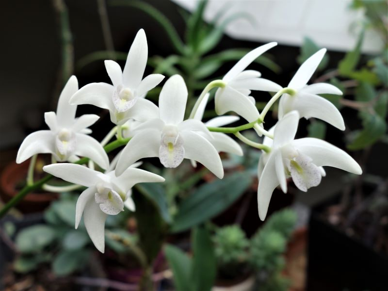 Orchideen 3 (fortlaufende Seiten 300 bis 400) - Seite 65 Den_ki14