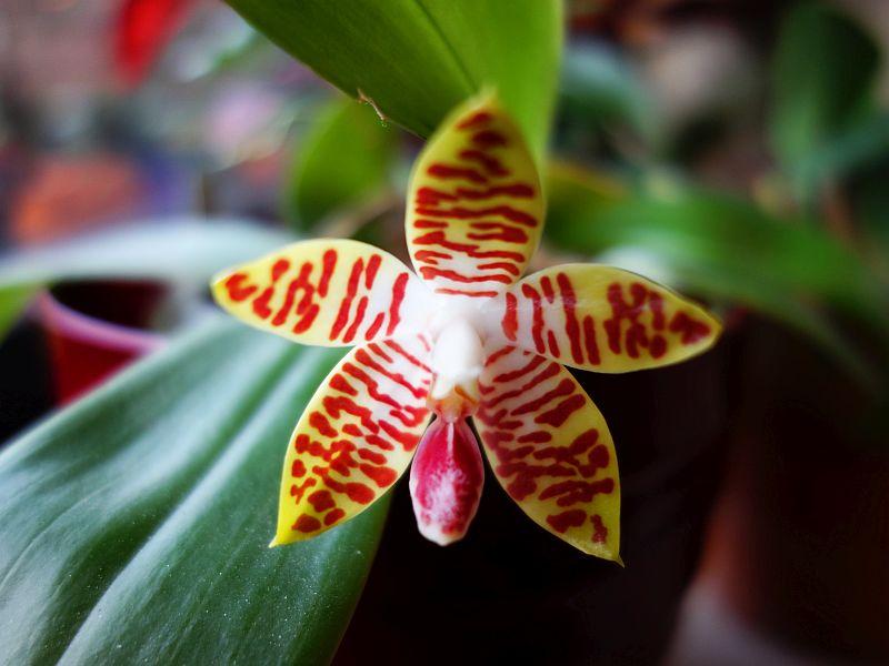 Phalaenopsis sumatrana x amboinensis Dsc00029