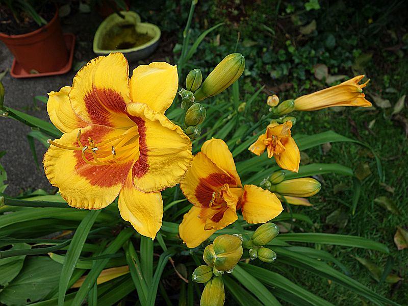 Hemerocallis - Taglilien - Schönheiten im Juni und Juli - Seite 8 Dsc09127