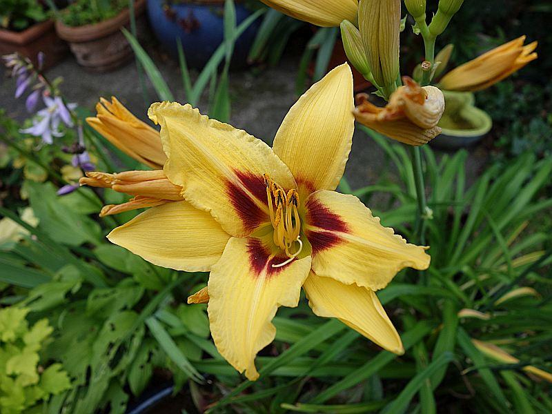 Hemerocallis - Taglilien - Schönheiten im Juni und Juli - Seite 9 Dsc09141