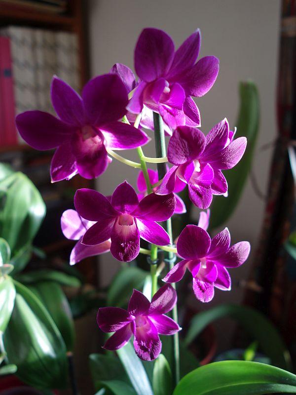 Unbekannte Orchidee  - gelöst: Dendrobium phalaenopsis Dsc09651