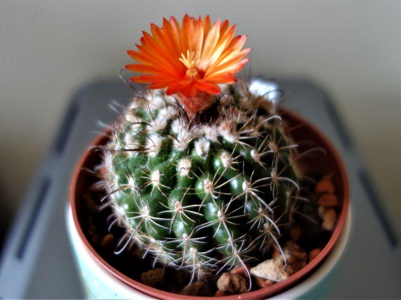 Kakteen Bilder 2 - Seite 8 Kaktus12