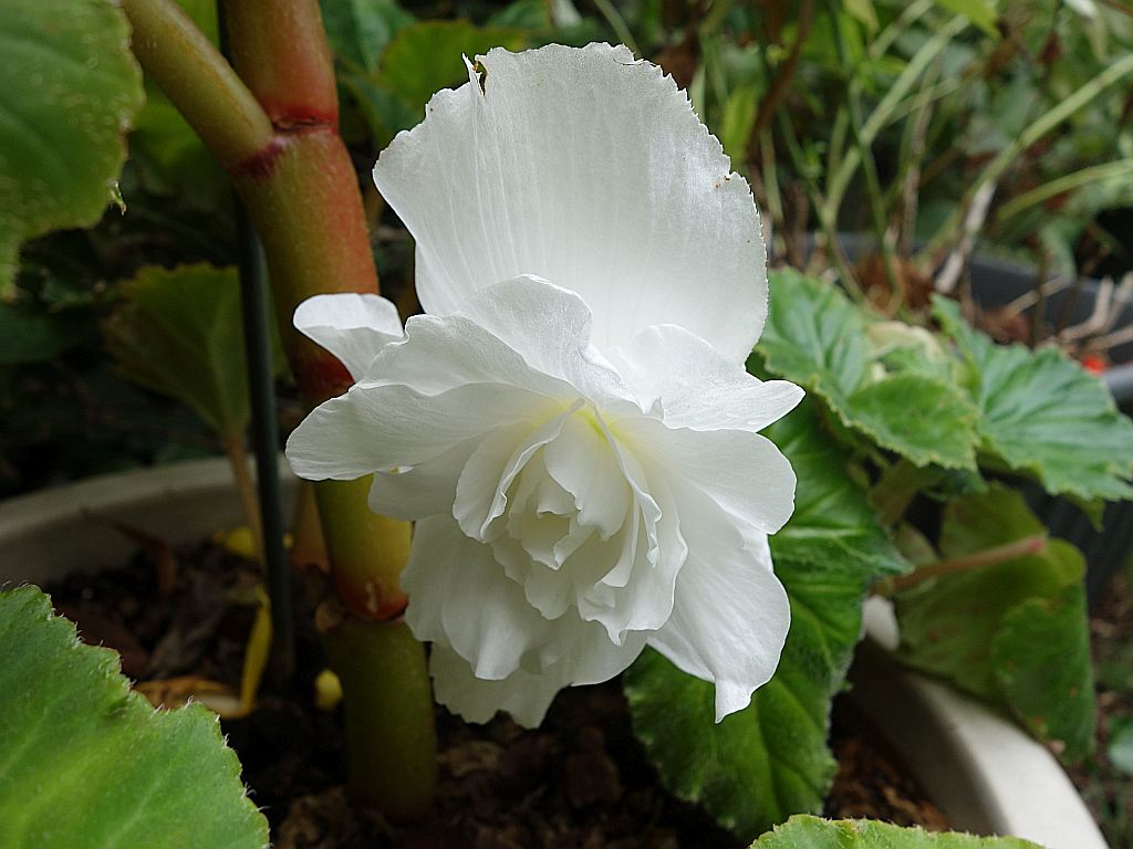 Begonia - Begonien - Seite 4 Knolle11