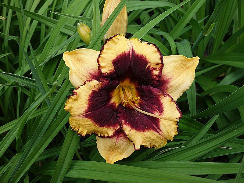 Hemerocallis - Taglilien - Schönheiten im Juni und Juli - Seite 8 Taglil10