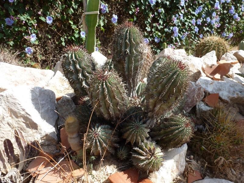 Euphorbia horrida Euphor11