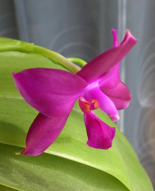 Welche Phalaenopsis? Dsc_0118