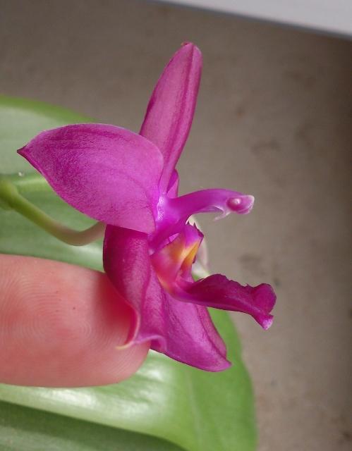 Welche Phalaenopsis? Dsc_0119