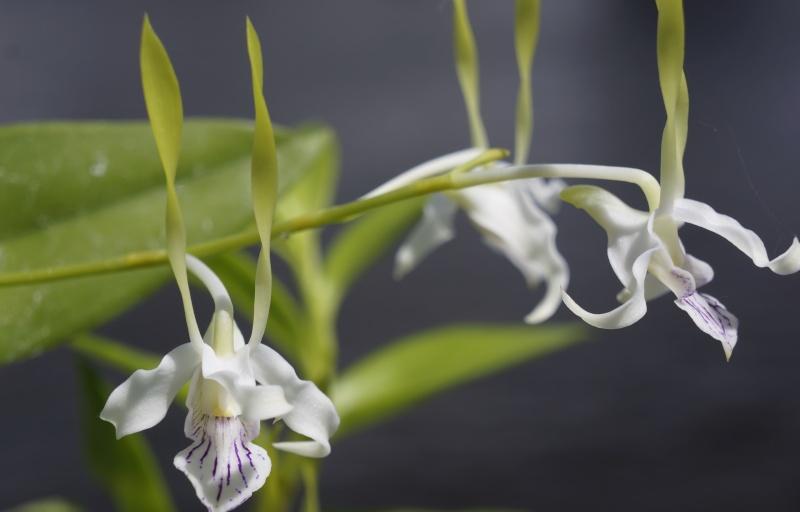 Dendrobium antennatum Dendro11