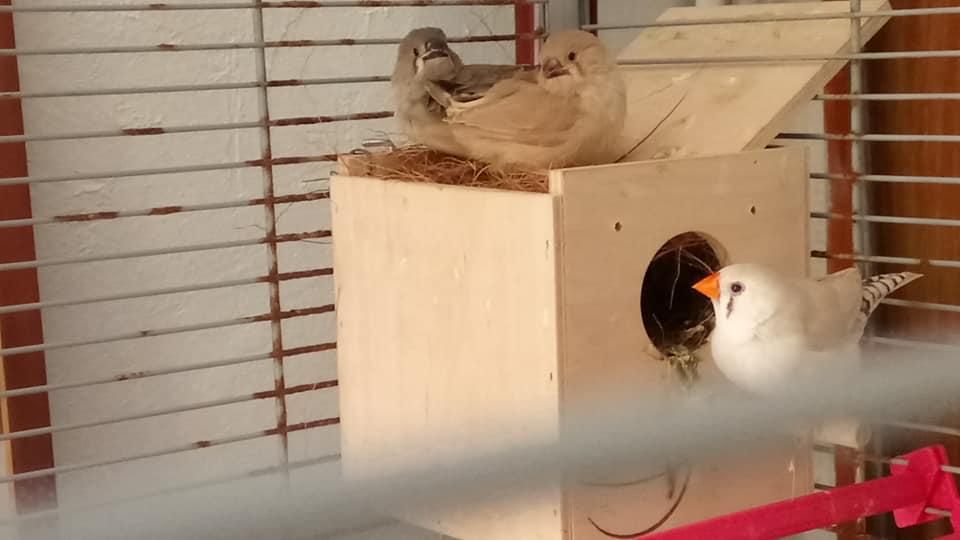 Cage trop grande pour sortie du nid des oisillons ? Bb_man10
