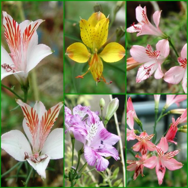 Lilien(artige) -  natürlich Lilien, aber auch Inkalilien, Zeitlose, Germer und Stechwinden - Seite 13 Collag47