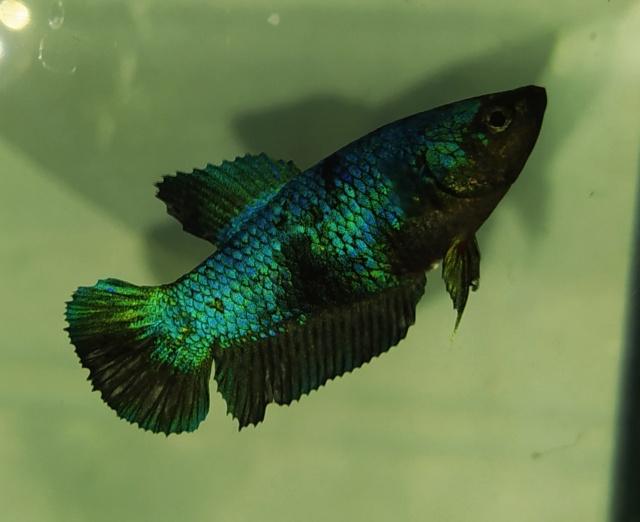 Puesta Green/Blue Black HMPK (Hembra) X Black Cooper HMPK (Macho) Img_2028