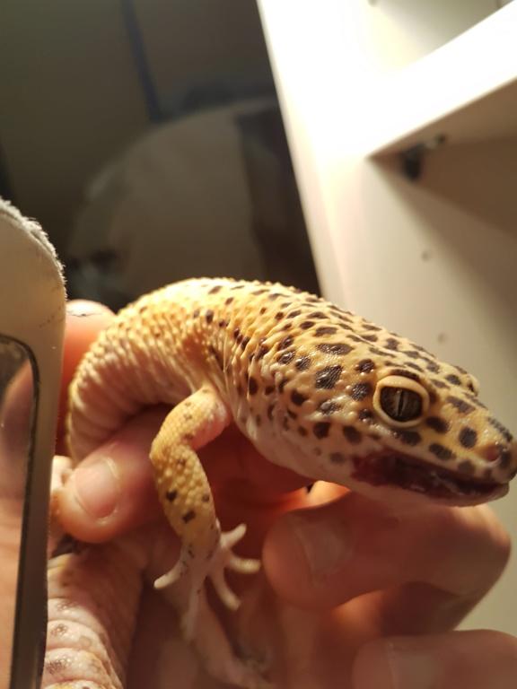 Problème gecko léopard 20200118