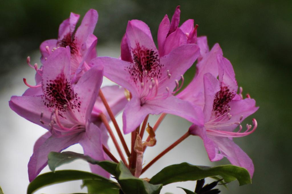 Pour identification, merci : Rhododendron ponticum Img_1611
