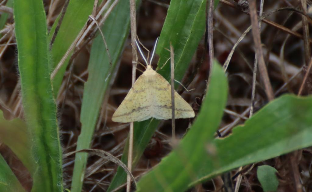 Pour identification, merci : Aspitates ochrearia et Pyrausta despicata. Img_1913
