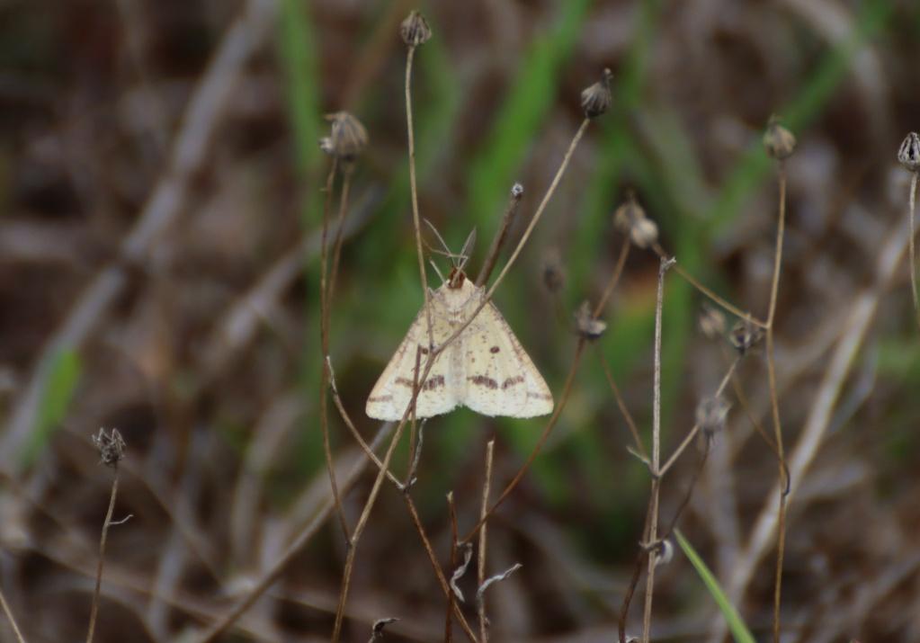 Pour identification, merci : Aspitates ochrearia et Pyrausta despicata. Img_1914