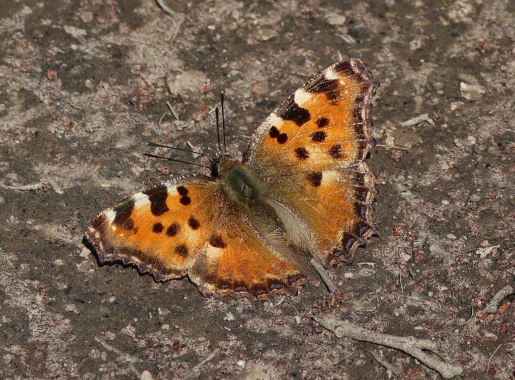Papillon précoce Img_3515