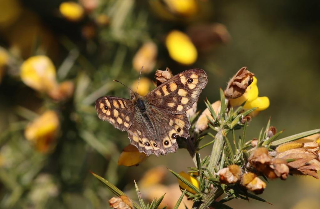 Papillon précoce Img_3516