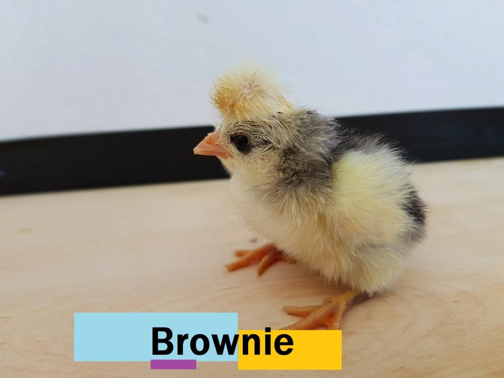 Bonne nouvelle : poussin en couveuse Browni10