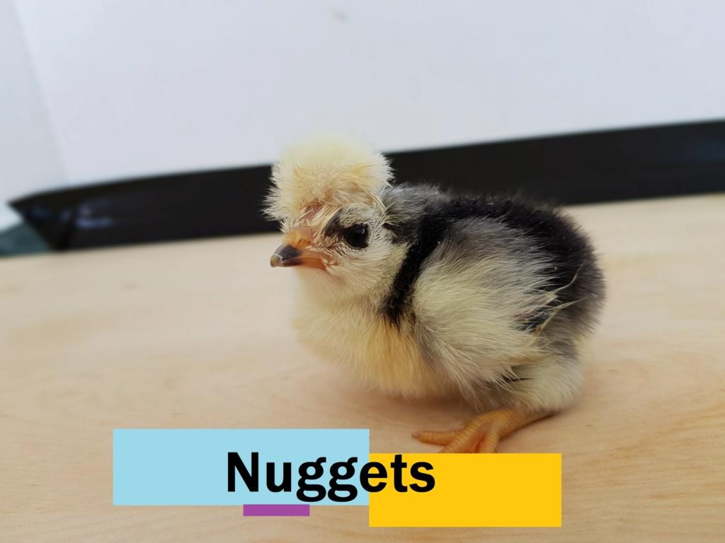 Bonne nouvelle : poussin en couveuse Nugget10