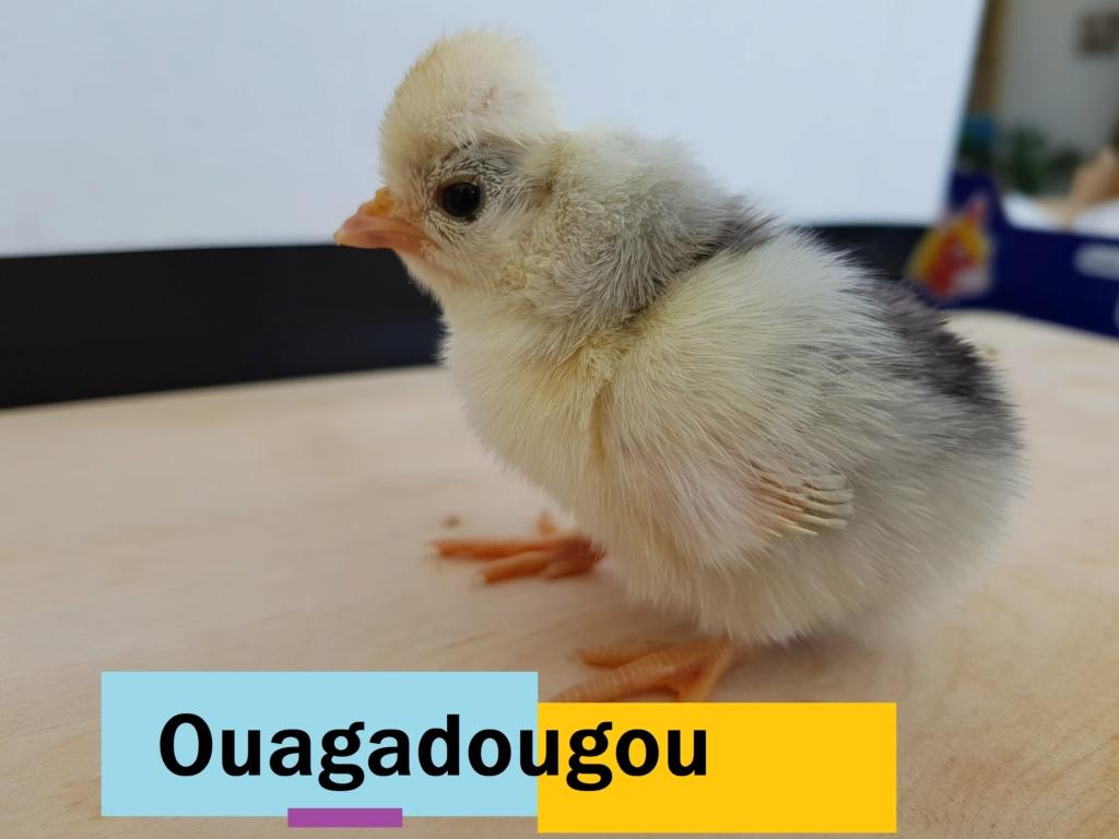 Bonne nouvelle : poussin en couveuse Ouagad10