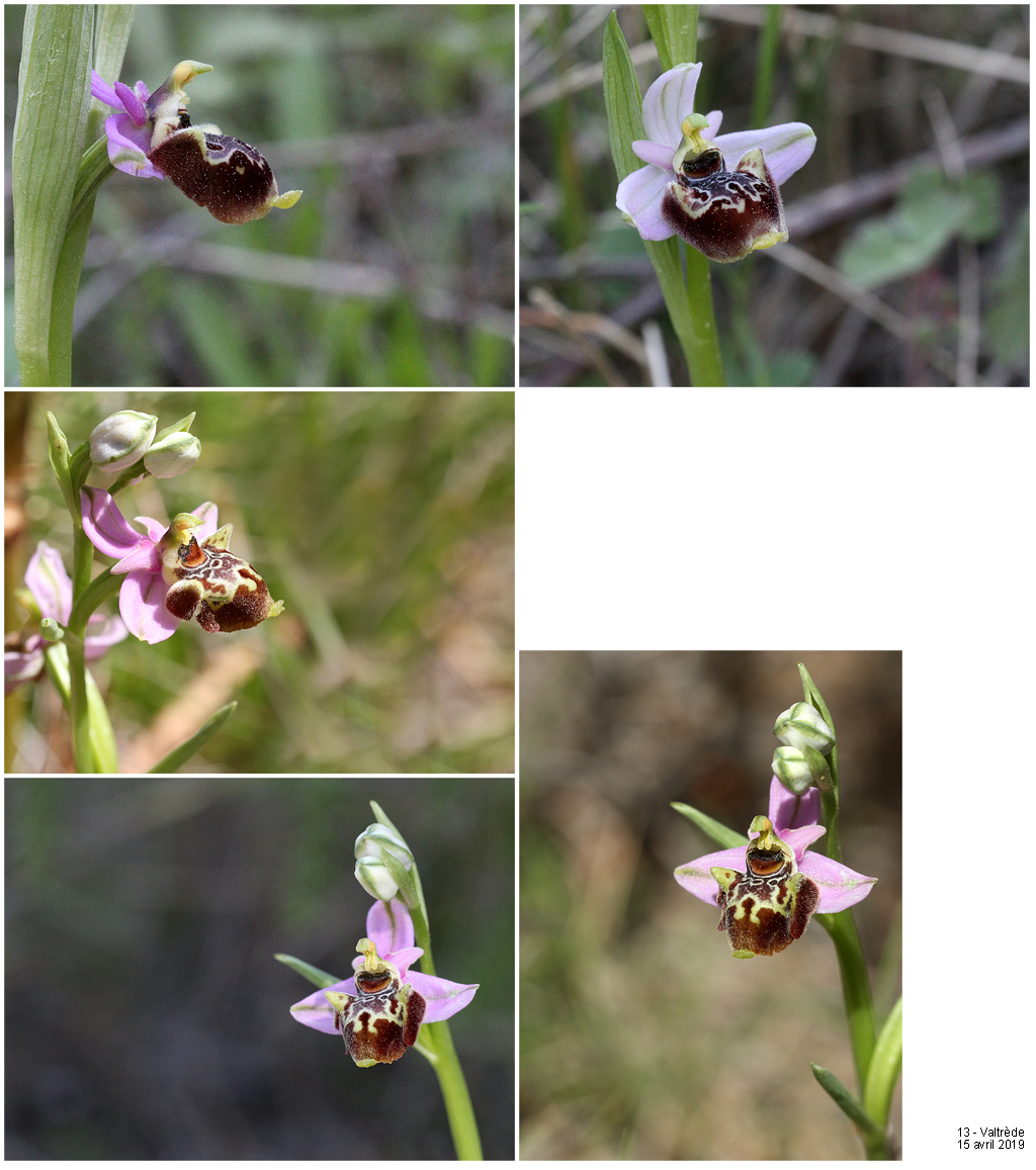 Ophrys fuciflora subspc linearis 19041513