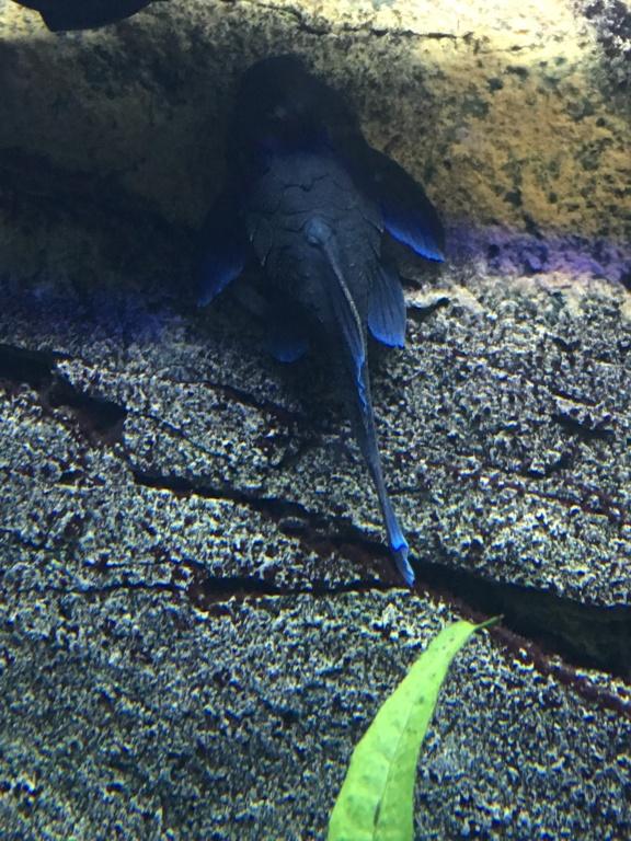 Baryancistrus beggini L239 - Panaque Azul 1ff97410