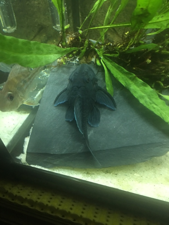 Baryancistrus beggini L239 - Panaque Azul De012f10