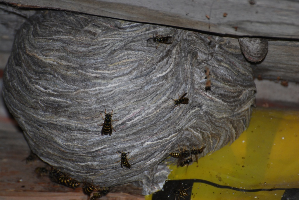 Nids de guêpes dans mon grenier! Quelle espèce, que faire? 1ernid14