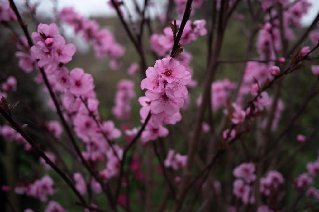 Cerisier en fleurs P1020111