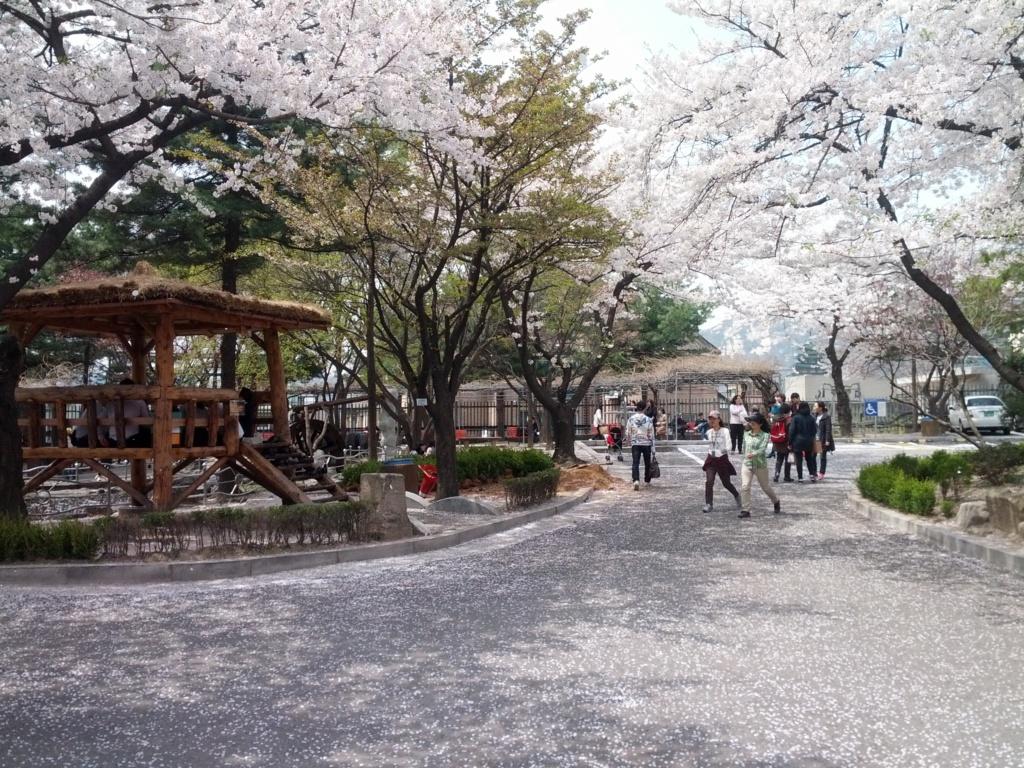La Floraison des cerisiers au Japon - Sakura Zensen Img_2014