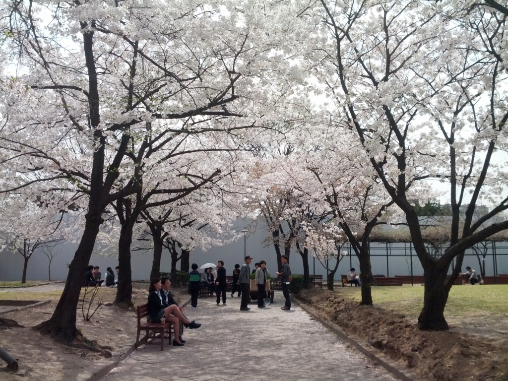 La Floraison des cerisiers au Japon - Sakura Zensen Img_2016