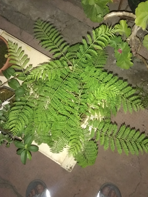 Mi primer bonsai. Jacaranda Img_2015