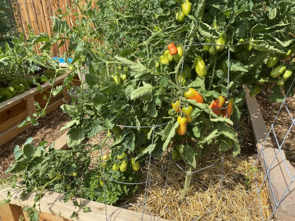 Tomato Mosaic Virus...Fearing the Worst :( Img_3513