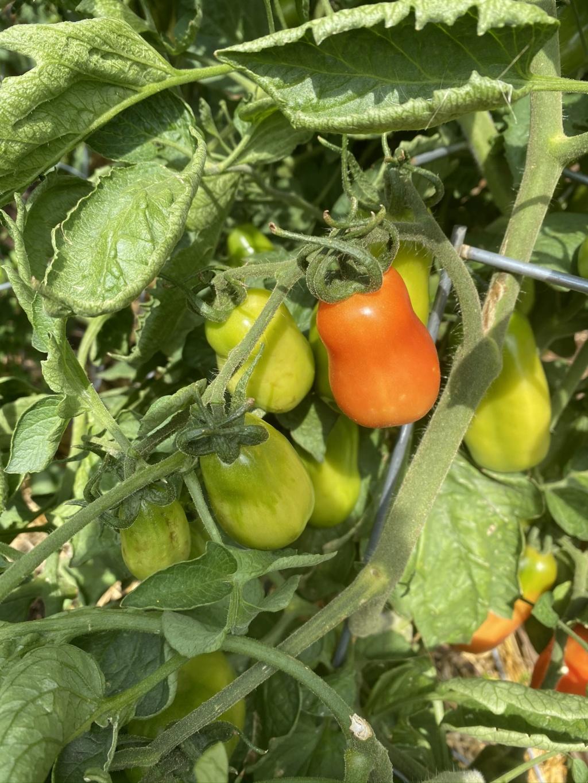 Tomato Mosaic Virus...Fearing the Worst :( Img_3519