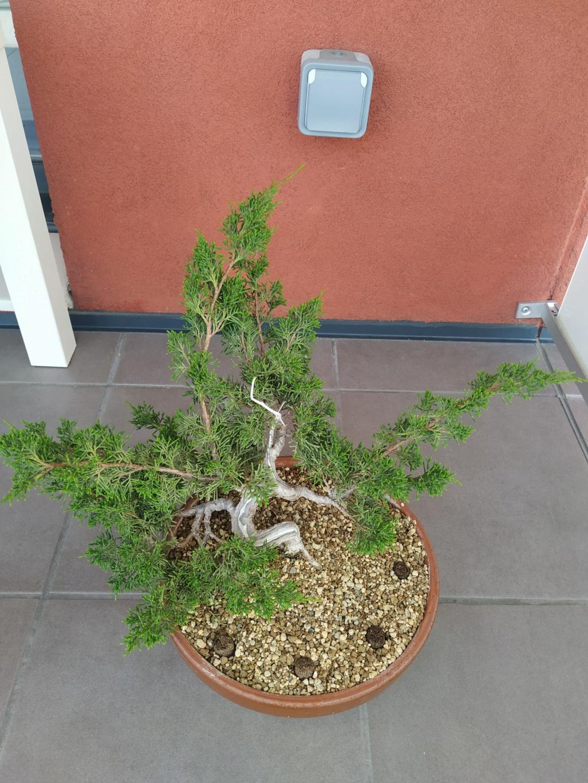 Poda junipero chino 111
