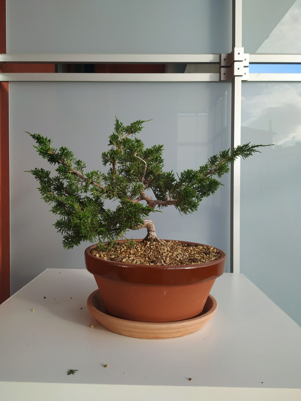 Poda junipero chino 610