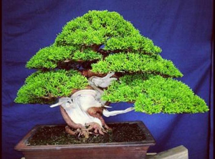 Poda junipero chino Bonsai10