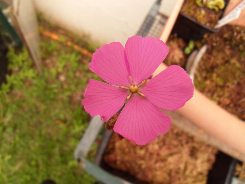 Fleur d'Hamiltonii Sdc17527