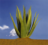 L'aloes Aloes10