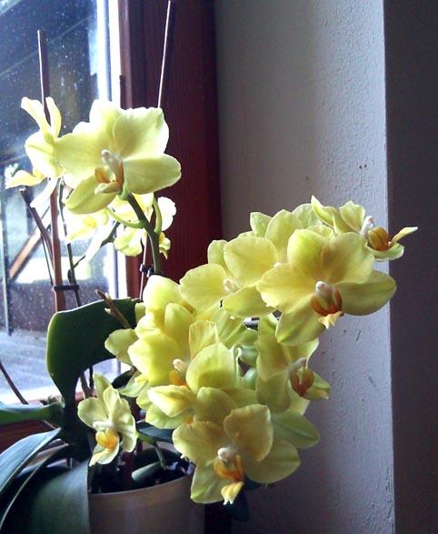 quelques photos de mes orchidées - Page 2 Orchid10