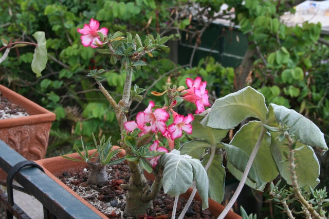 Adenium de mon balcon Adeniu10