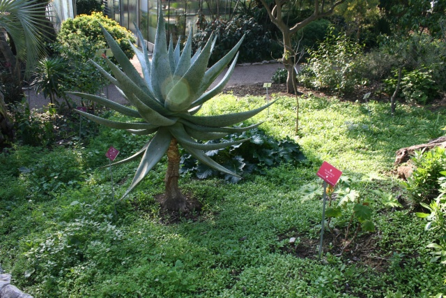 Confirmation identification aloés (Aloé broomii) et (Aloe marlotthii) Aloe_m10