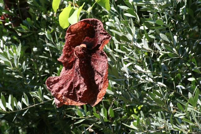 Aristolochia gigantea, bizarre, bizarre ! Aristo10