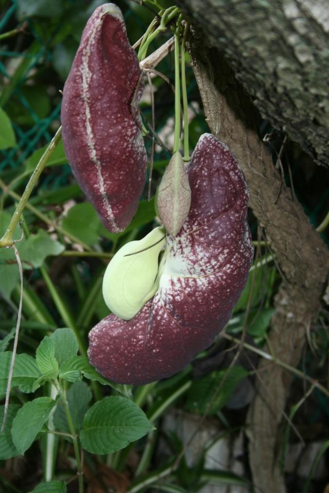 Aristolochia gigantea, bizarre, bizarre ! Aristo18