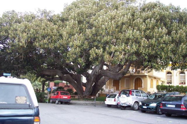 Aralia Reticula dans jardin Varois Bordig12