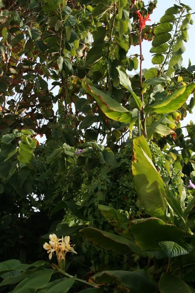 Canna edulis et Hedychium flavescens en fleurs Canna_13