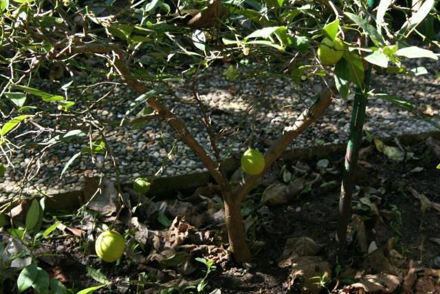 question sur les citronniers Citrus13