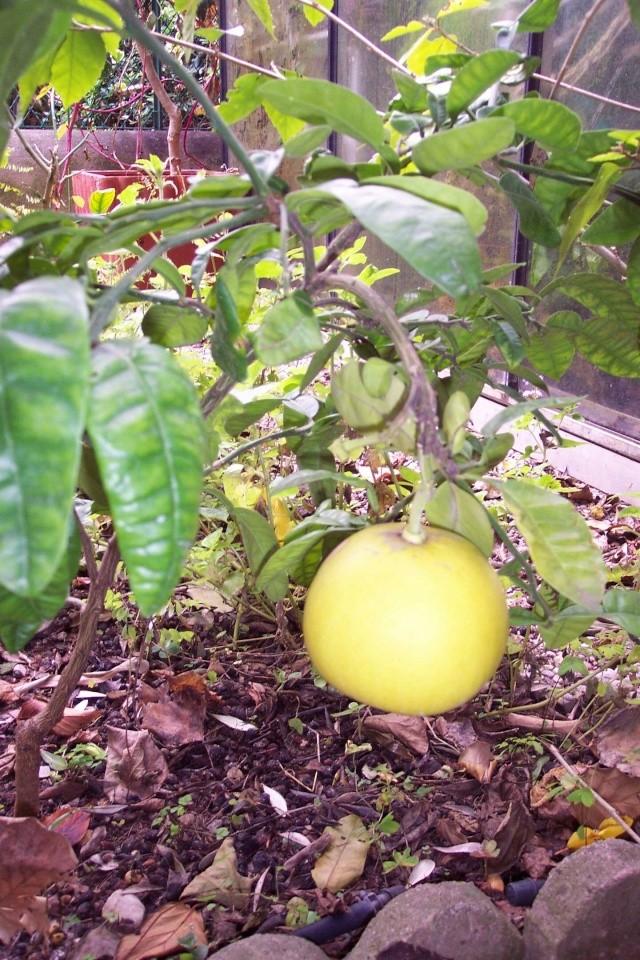 question sur les citronniers Citrus14